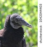 Small photo of The American black Vulture (Coragyps atratus) lack a voice box so can only make raspy hisses and grunts.
