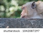 Close Up The Face Of Monkey Wh...