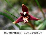 Small photo of Coconut pie orchid or Delicate-leafed maxillaria (Maxillaria tenuifolia)