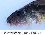 predatory fish  fresh catch. | Shutterstock . vector #1042150723