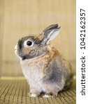 Small photo of A Dwarf Rabbit with agouti markings