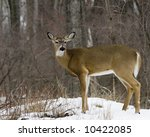 A Whitetail Deer Buck Standing...