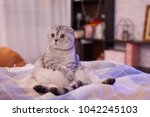 interested scottishfold cat is... | Shutterstock . vector #1042245103