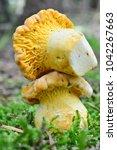 two young specimen of...   Shutterstock . vector #1042267663