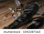 cat lie on wooden floor | Shutterstock . vector #1042287163