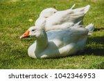 white goose bird on green field | Shutterstock . vector #1042346953