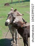 a cute baby donkey nibbles its... | Shutterstock . vector #1042399327