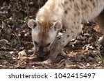 spotted laughing hyena eating... | Shutterstock . vector #1042415497