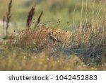 common kestrel  falco...   Shutterstock . vector #1042452883