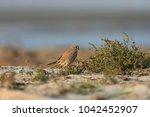 common kestrel  falco...   Shutterstock . vector #1042452907