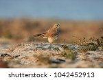common kestrel  falco...   Shutterstock . vector #1042452913