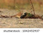 common kestrel  falco...   Shutterstock . vector #1042452937