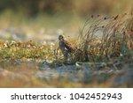 common kestrel  falco...   Shutterstock . vector #1042452943