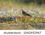 common kestrel  falco...   Shutterstock . vector #1042452967