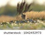 common kestrel  falco...   Shutterstock . vector #1042452973