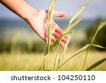 Wheat in hands. Field of wheat on background. - stock photo