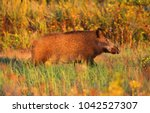 a young wild boar runs in the... | Shutterstock . vector #1042527307