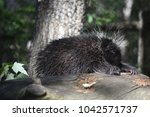 cute black porcupine with its... | Shutterstock . vector #1042571737