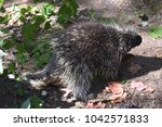 large black and white quills on ... | Shutterstock . vector #1042571833