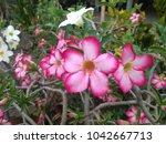 pink flowers on tree in garden   Shutterstock . vector #1042667713
