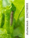 Small photo of single slug on green lettuce on my garden
