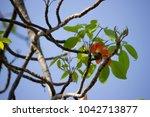 red flower on tree  bombax... | Shutterstock . vector #1042713877