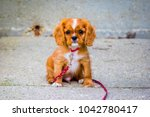 Stock photo portrait of a king charles cavalier puppy this is a very loving and wonderful family pet they 1042780417