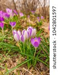 crocus  plural crocuses or... | Shutterstock . vector #1042801597