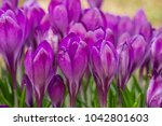 crocus  plural crocuses or... | Shutterstock . vector #1042801603