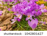crocus  plural crocuses or... | Shutterstock . vector #1042801627