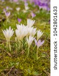 crocus  plural crocuses or... | Shutterstock . vector #1042801633