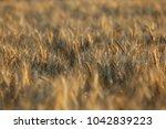 field yellow brown wheat grass... | Shutterstock . vector #1042839223
