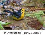 Portrait of Golden-fronted Whitestart (Myioborus ornatus) taking a bath on small ground pool