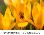 yellow crocus  crocuses or... | Shutterstock . vector #1042888177