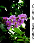 Small photo of Purple Inthanin flower in my condo, Inthanin is a perennial. The species is found in the lowlands and the river, creek in the mixed forest and rainforest all over.
