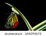 Stock photo monarch butterfly milkweed mania baby born in the nature 104293673