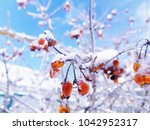 Red Berries On  Snowy Branch....