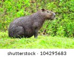 Large capibara male sitting on the grass by a small pond in the rain forest near Chagres river in near the Panama Canal. - stock photo
