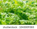 fresh green parsley growing in... | Shutterstock . vector #1043009383