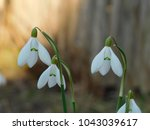 Small photo of snowdrop galanthus spring