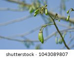 ceiba pentandra fruit on tree... | Shutterstock . vector #1043089807