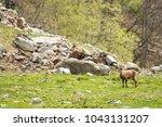 Small photo of Alpine ibex (Capra ibex) alpine environment, spring, Maritime Alps. Female in the grassland.
