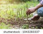 man harvesting of green fresh...   Shutterstock . vector #1043283337