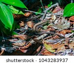 Small photo of Four-lined Ameivas in Cahuita - Costa Rica. Ameiva quadrilineat (four-lined ameiva or four-lined whiptail) is a species of whiptail lizard found in western Panama, Costa Rica, and southeast Nicaragua.