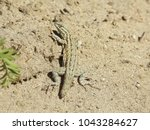 common side blotched lizard | Shutterstock . vector #1043284627