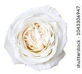 white rose isolated on white   Shutterstock . vector #1043306947