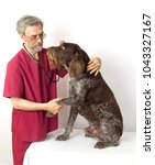 Small photo of Dog breed drathaar examines veterinary doctor, trusted him and gave paw