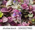 Small photo of Blooming Bugleweed - Ajuga reptant