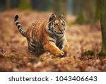 amur tiger running in the... | Shutterstock . vector #1043406643