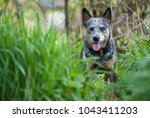 happy australian cattle dog... | Shutterstock . vector #1043411203
